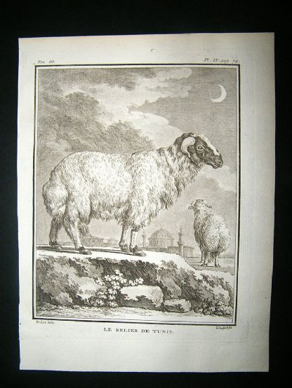Buffon: C1770 Ram Sheep of Tunis, Antique Print | Albion Prints